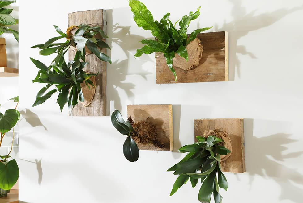 DIY staghorn fern living wall in collaboration with The Plant Room