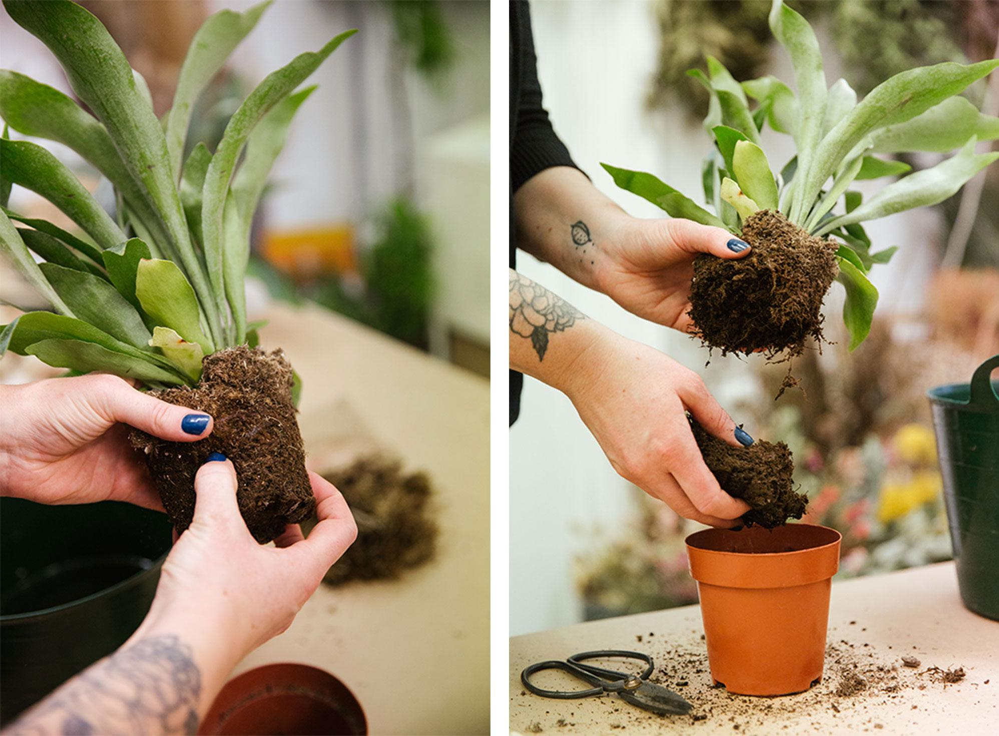 Start decanting the plant from its pot, making sure to separate the soil