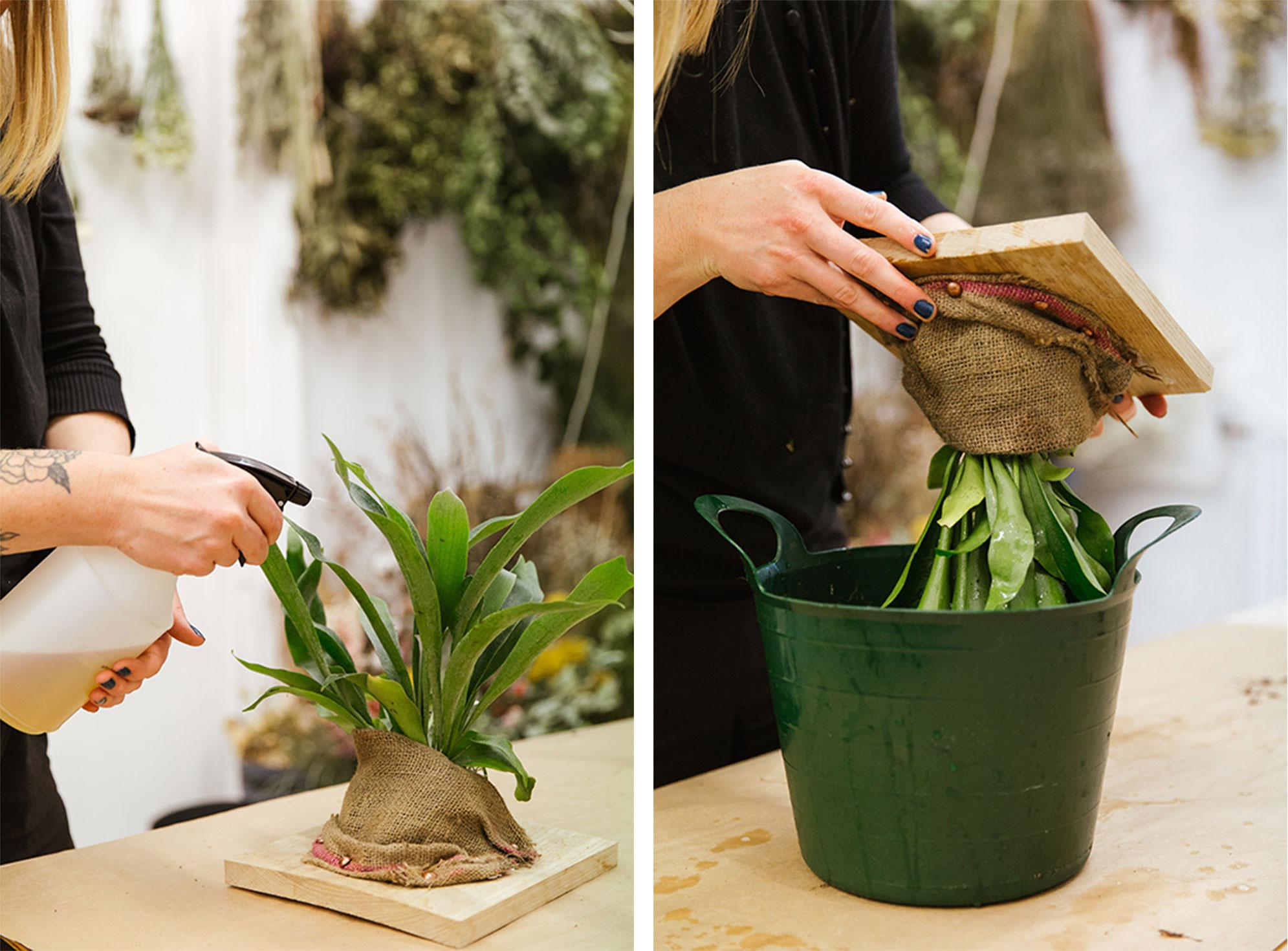 Spray the plants weekly, dunk it in water for 24 hours once a month