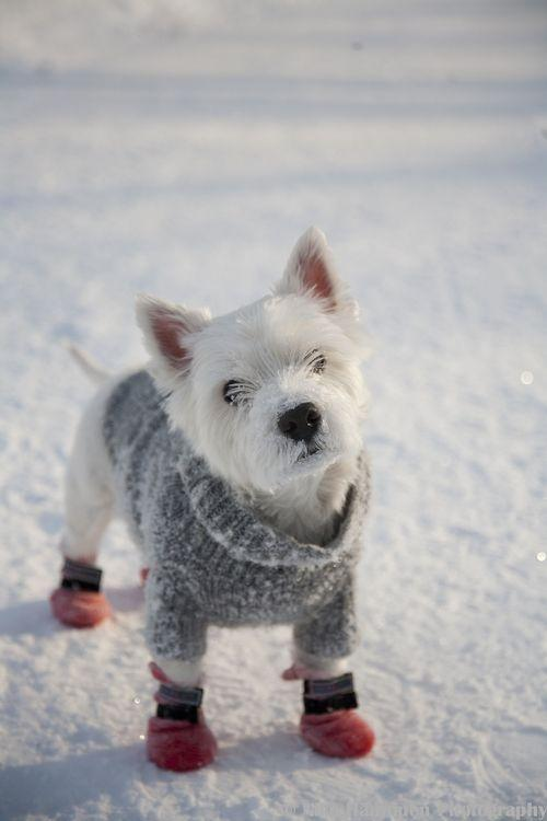 Cute terrier with sweater and booties