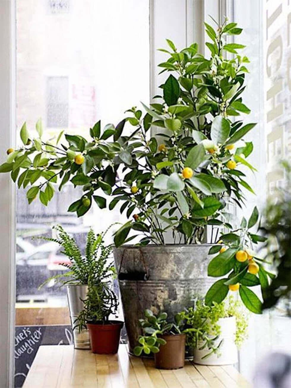 Citrus fruit tree grown indoors.
