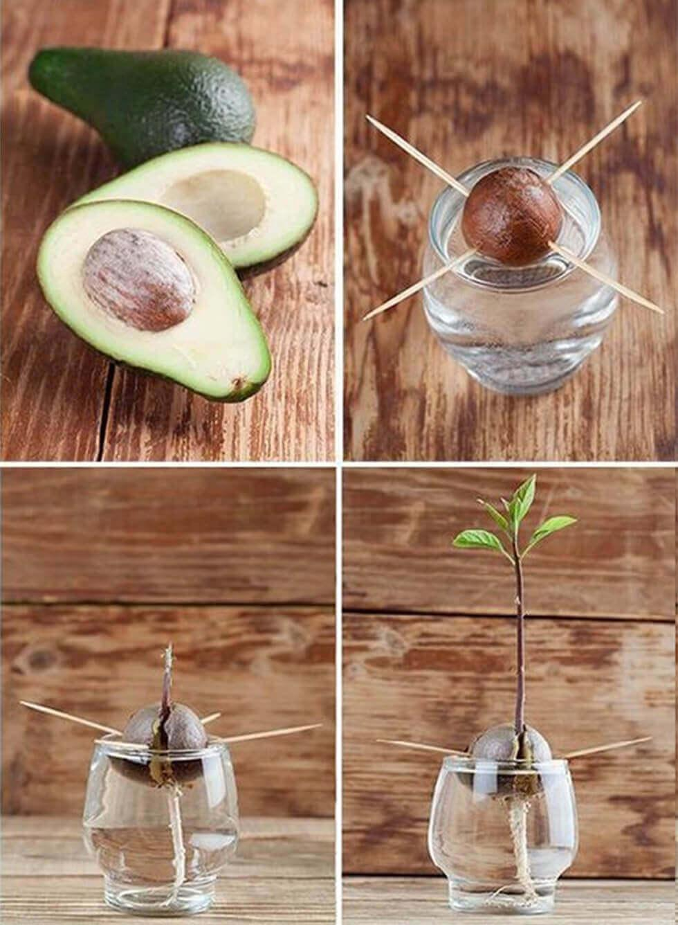 Process photos of re-sprouting avocado from a seed.