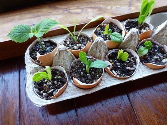 Seedlings in eggshells.