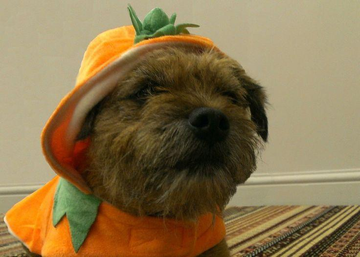 Dog dressed up as pumpkin