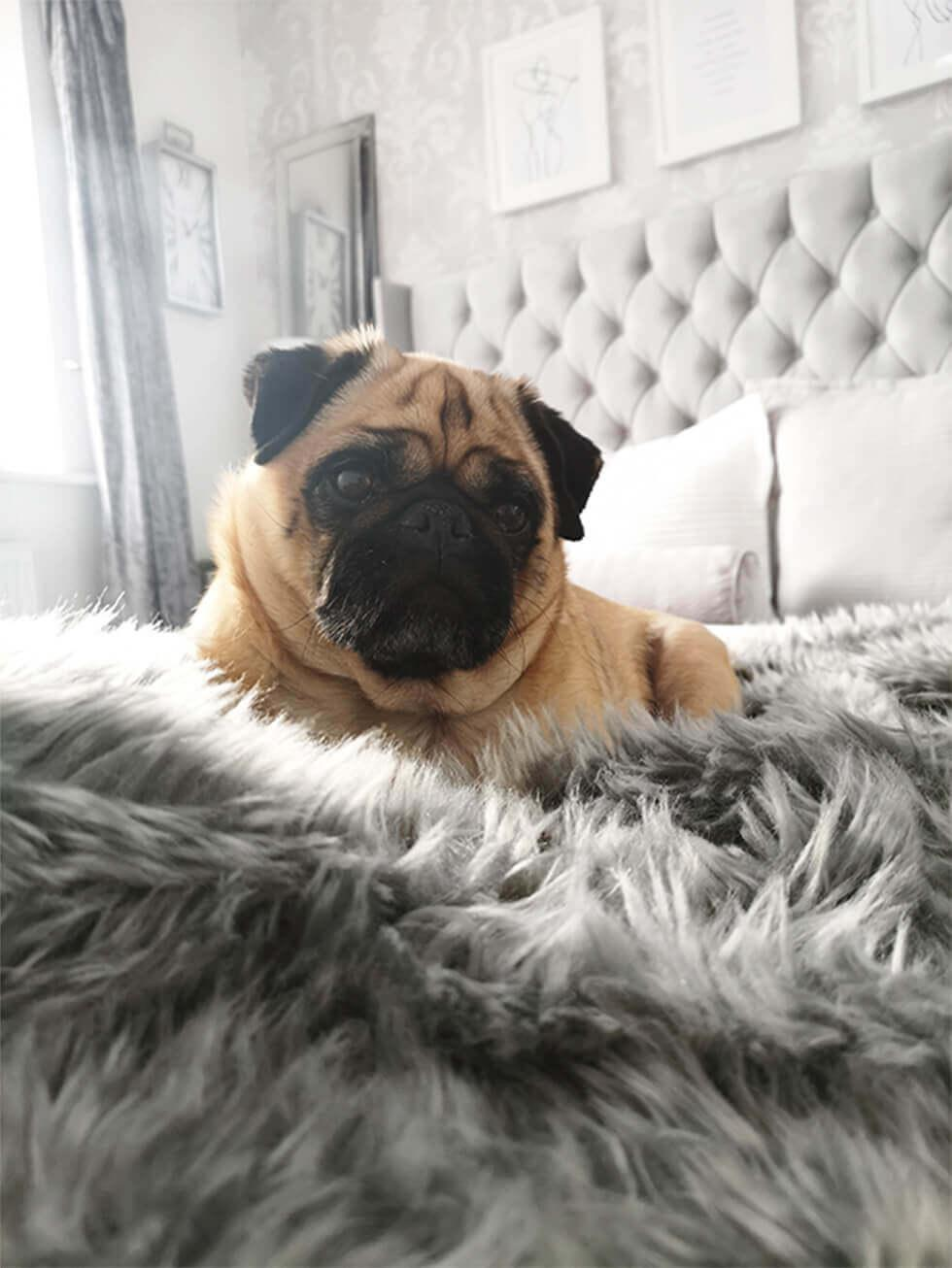 Close up of a pug sitting on a grey fabric bed with a fur throw
