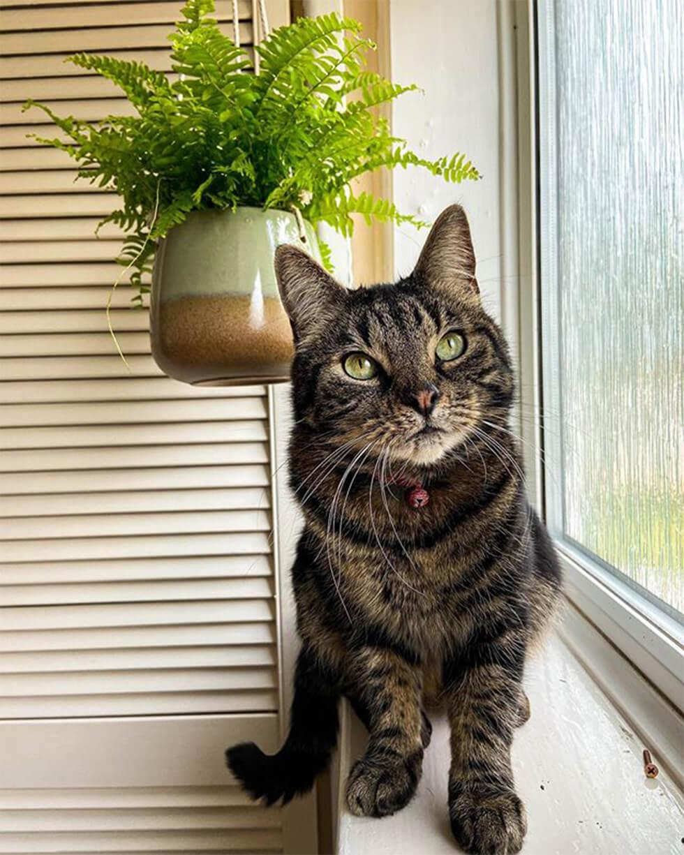 tabby cat on a window sill with a hanging plant in the background