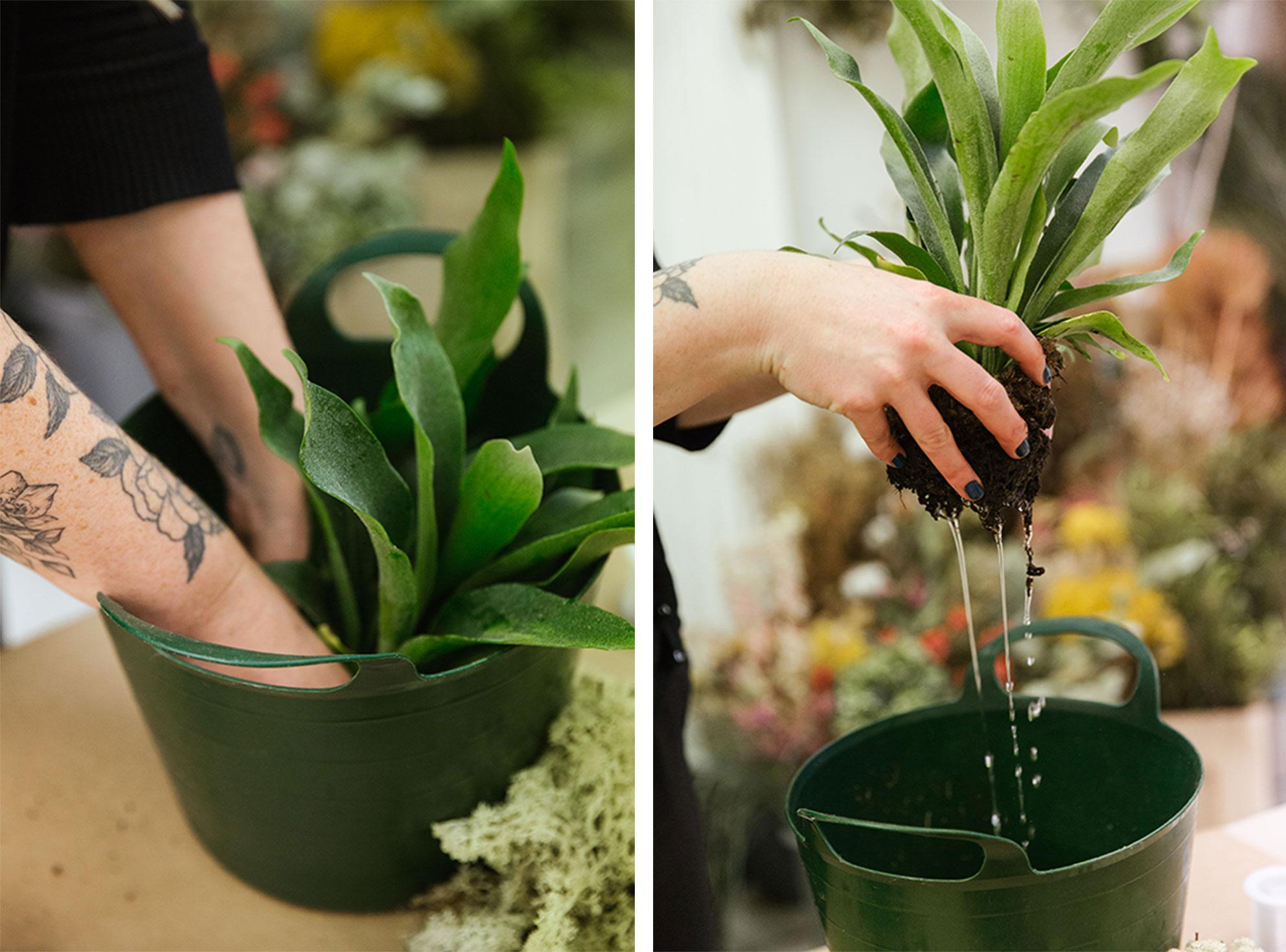 Dunk the staghorn fern in water to keep it fresh